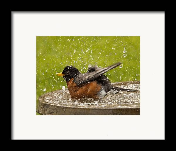 Robin Framed Print featuring the photograph Bathing Robin by Inge Riis McDonald