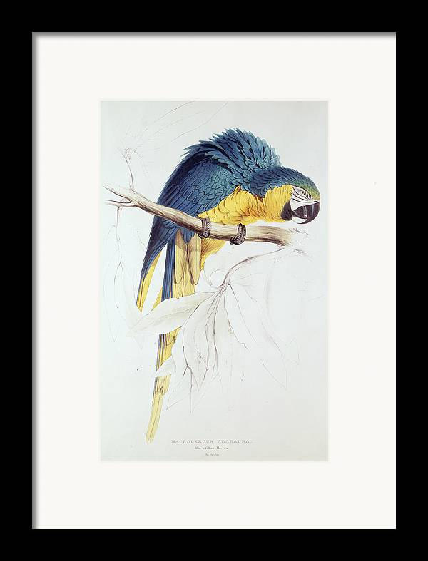 Parrot Framed Print featuring the painting Blue And Yellow Macaw by Edward Lear