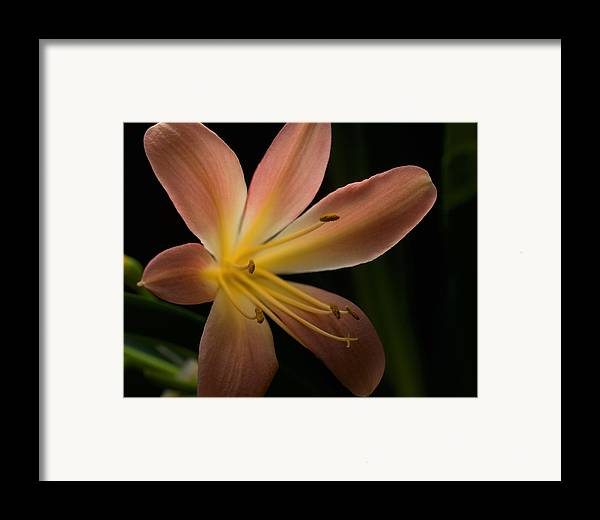 Flower Framed Print featuring the photograph Bluete 3 by Antonio Castillo