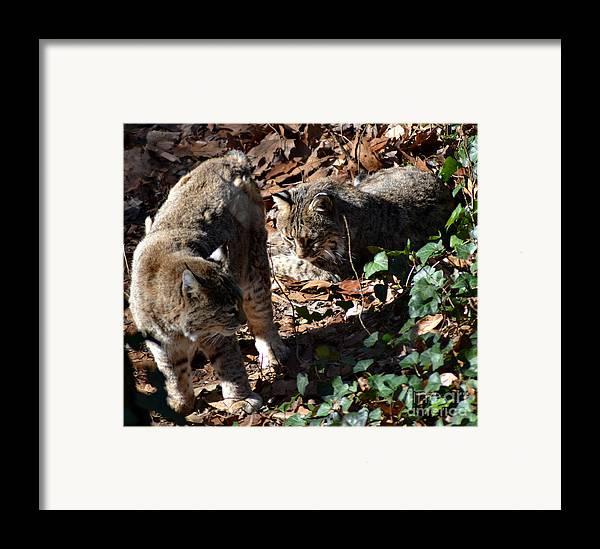 Wildlife Framed Print featuring the photograph Bobcat Couple by Eva Thomas