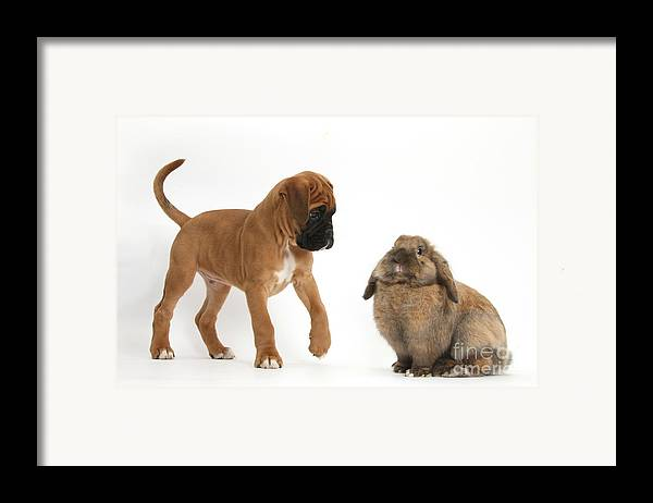 Nature Framed Print featuring the photograph Boxer Puppy With Lionhead-lop Rabbit by Mark Taylor