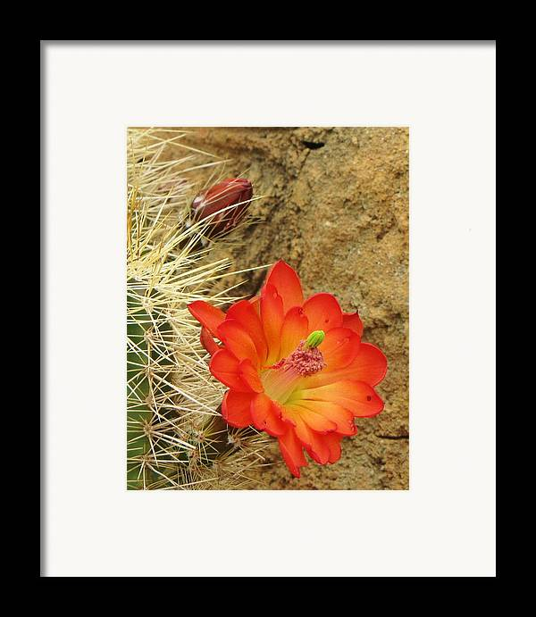 Cactus Southwest Cactus Flower Orange Wildflowers Nature Arizona Framed Print featuring the photograph Cactus Flower Bright by Feva Fotos