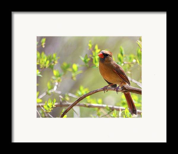 Cardinal Framed Print featuring the photograph Cardinal In Spring by Sandi OReilly