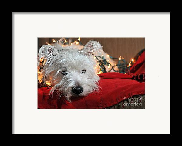 West Highland Terrier Framed Print featuring the photograph Christmas Westie by Catherine Reusch Daley