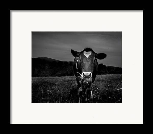 Cows Framed Print featuring the photograph Cow by Bob Orsillo