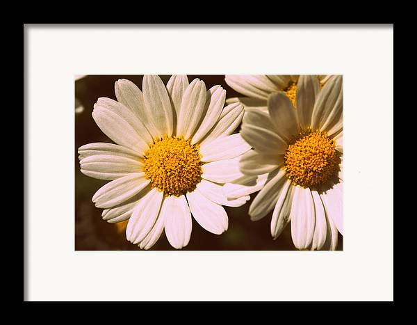 Flower Framed Print featuring the photograph Daisies by Chevy Fleet