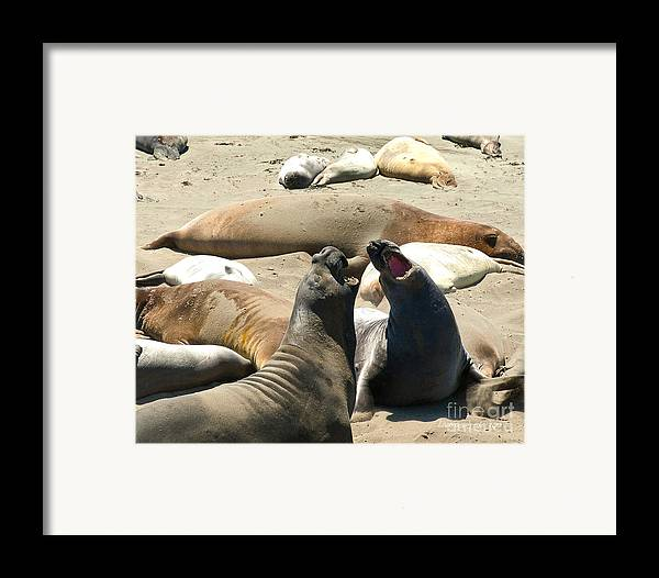 Big Sur Framed Print featuring the photograph Elephant Seal Birthing Grounds Two Elephant Seal Bulls Fighting by Artist and Photographer Laura Wrede
