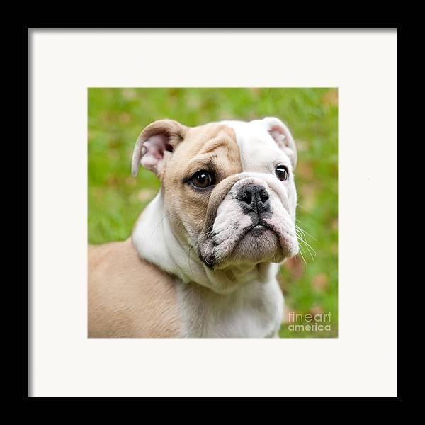 English Bulldog Framed Print featuring the photograph English Bulldog Puppy by Natalie Kinnear