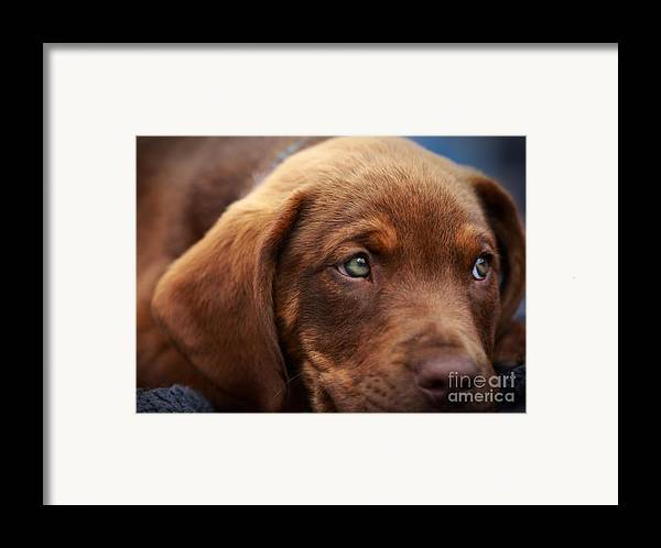 Chocolate Lab Framed Print featuring the photograph Eyes Are The Window To The Soul by Mary Lou Chmura
