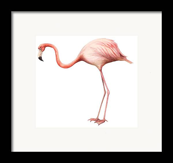 No People; Square Image; Side View; Full Length; White Background; One Animal; Wildlife; Close Up; Zoology; Illustration And Painting; Bird; Beak; Feather; Pink; Web; Flamingo; Phoenicopterus Ruber Framed Print featuring the drawing Flamingo by Anonymous