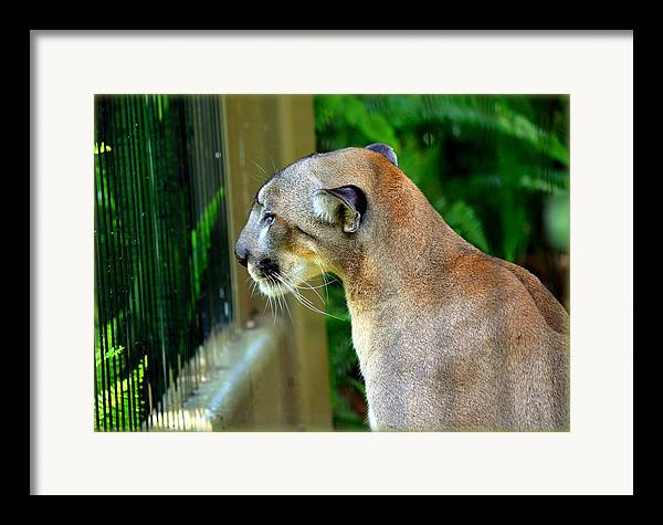Panthers Framed Print featuring the photograph Florida Panther by Amanda Vouglas