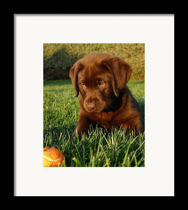 Dog Framed Print featuring the photograph Focus by Larry Marshall