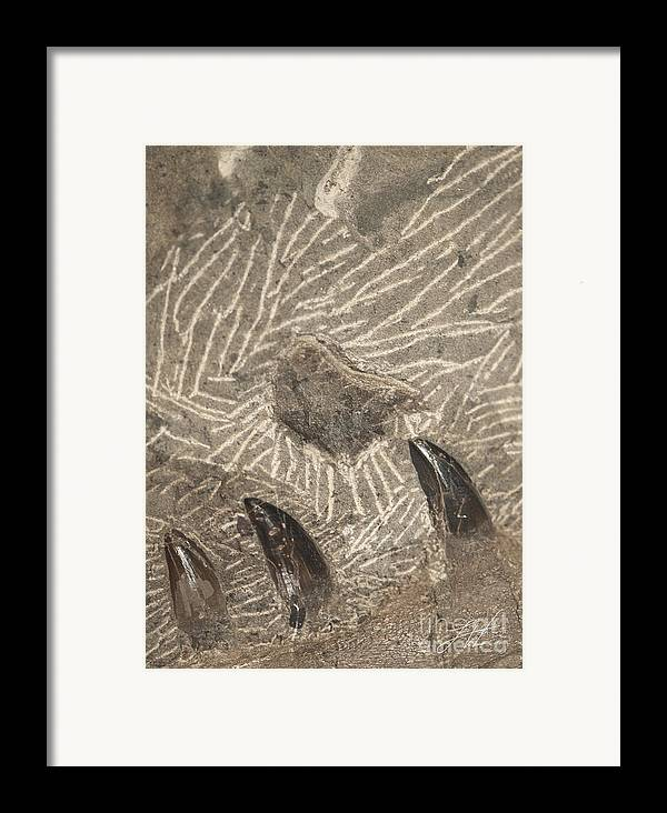 A Megalodon Shark Framed Print featuring the photograph Fossil Shark Teeth by Artist and Photographer Laura Wrede