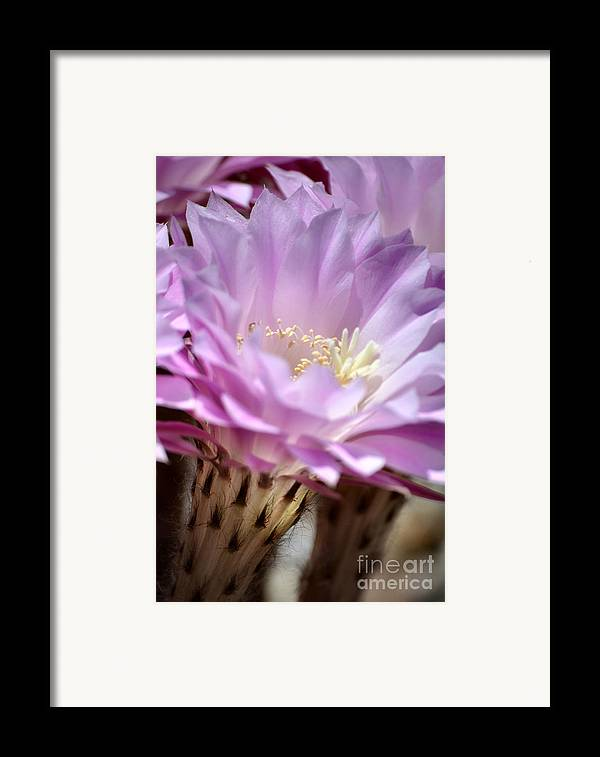 Cactus Flowers Framed Print featuring the photograph Fragile Beauty by Deb Halloran