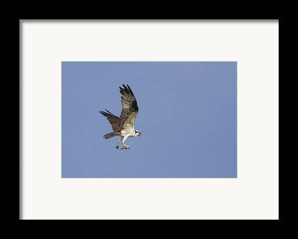 Bird Of Prey Framed Print featuring the photograph Fresh Catch by Charles Warren