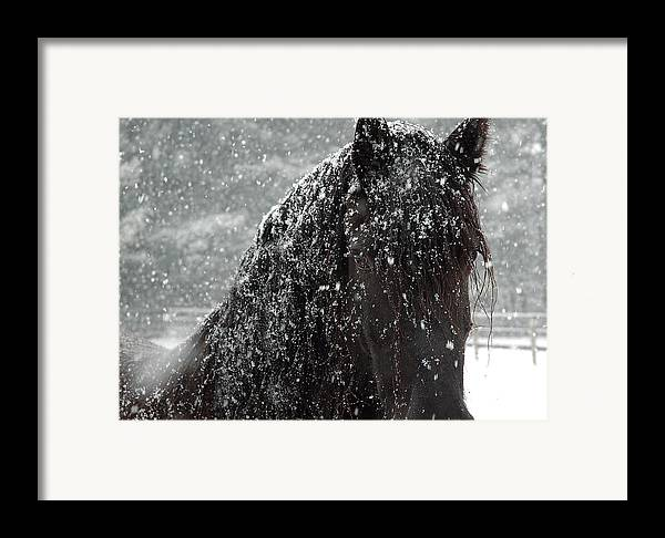 Horses Framed Print featuring the photograph Friesian Snow by Fran J Scott