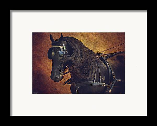 Carriage Horse Framed Print featuring the photograph Friesian Under Harness by Lyndsey Warren