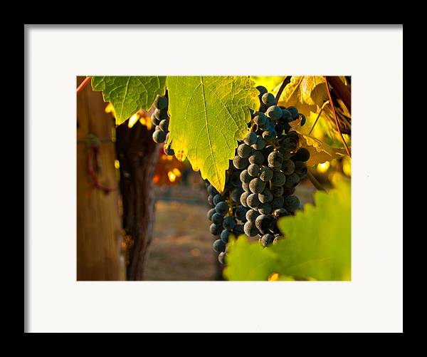 Grape Framed Print featuring the photograph Fruit Of The Vine by Bill Gallagher