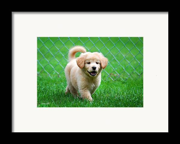 Golden Retriever Framed Print featuring the photograph Golden Retriever Puppy by Christina Rollo