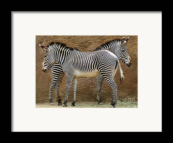 Zebra Framed Print featuring the photograph Got Your Back by Dan Holm