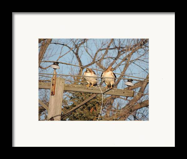 Two Hawks On A Telephone Pole Red Tail Framed Print featuring the photograph Hawk Talk by Todd Sherlock