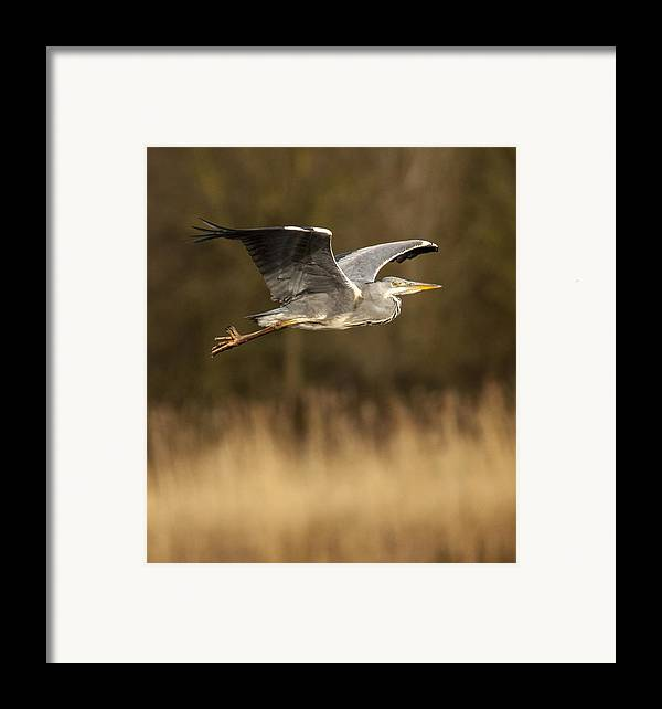Heron Framed Print featuring the photograph Heron In Flight by Simon West