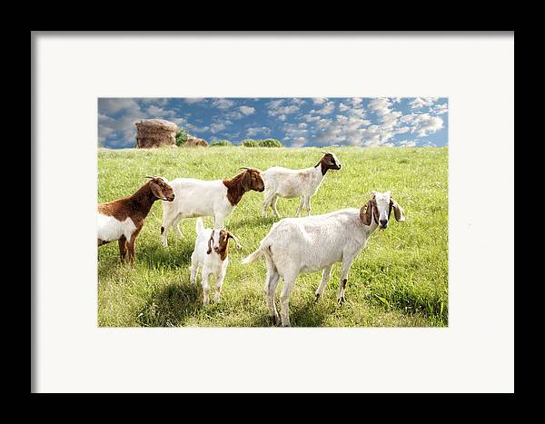 Goat Framed Print featuring the photograph Homeward Bound by Amy Tyler