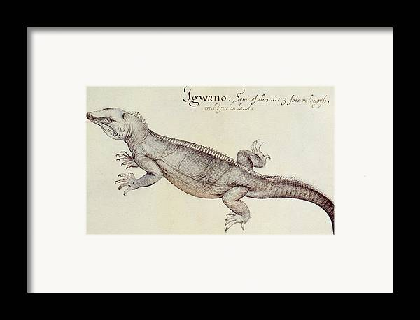 Iguana Framed Print featuring the painting Iguana by John White