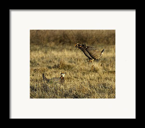 Wisconsin Prairie Chickens Framed Print featuring the photograph Intimidating Jump by Thomas Young