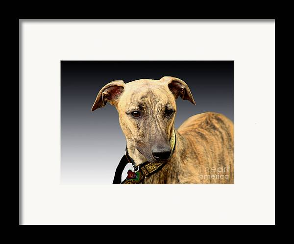 Brindle Framed Print featuring the photograph Jake by Linsey Williams