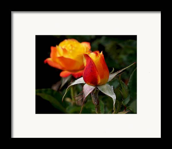 Rose Bud Framed Print featuring the photograph Judy Garland Rose by Rona Black