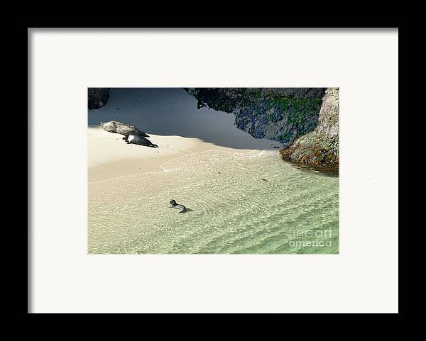 Big Sur Framed Print featuring the photograph Just Born Baby Sea Lion Pup With Mom And Dad Napping On The Beach by Artist and Photographer Laura Wrede