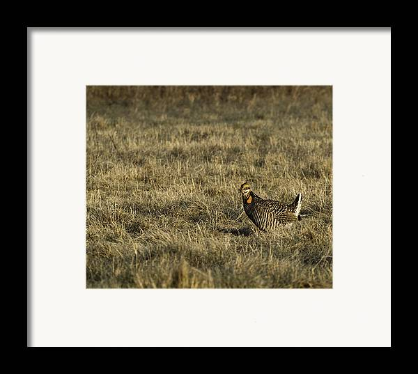 Wisconsin Prairie Chickens Framed Print featuring the photograph Last Prairie Chicken On The Booming Grounds by Thomas Young