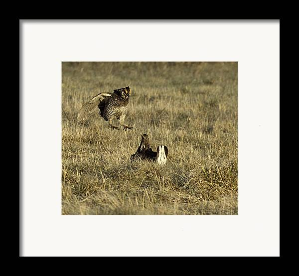 Wisconsin Prairie Chickens Framed Print featuring the photograph Lift Off by Thomas Young