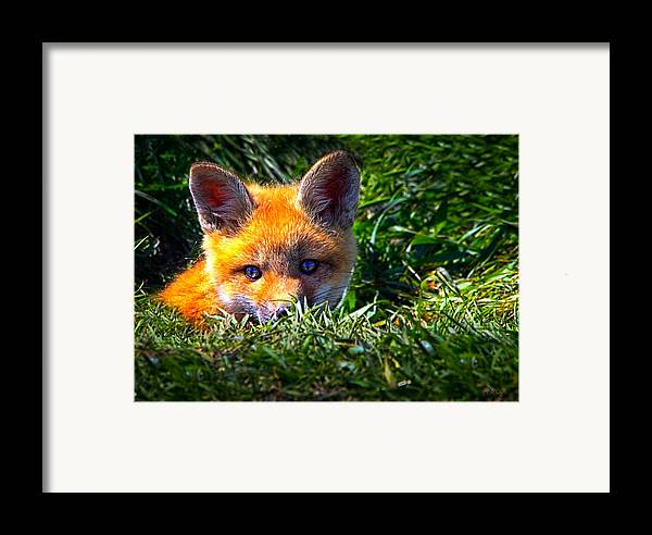 Fox Framed Print featuring the photograph Little Red Fox by Bob Orsillo