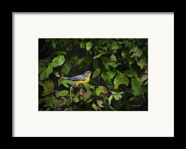 Bird Framed Print featuring the photograph Magnolia Warbler by Christina Rollo
