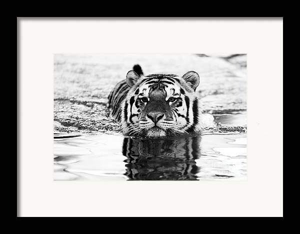 Tiger Framed Print featuring the photograph Mike by Scott Pellegrin