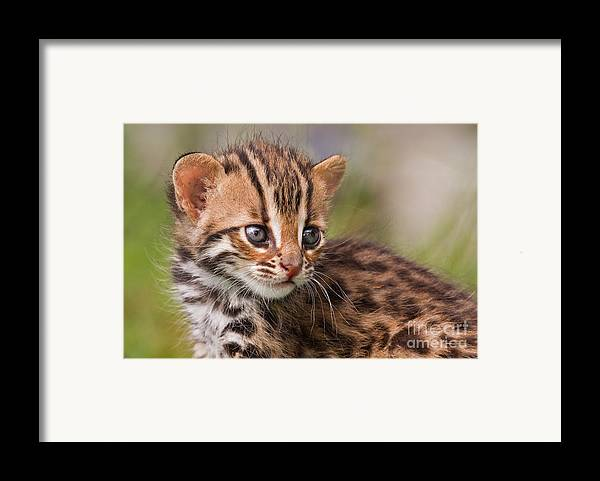 Leopard Framed Print featuring the photograph Miniature Leopard by Ashley Vincent