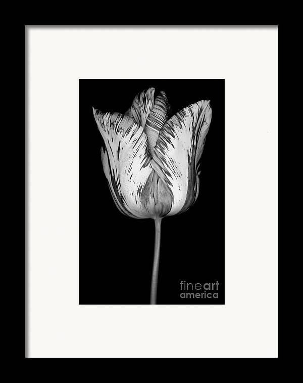 Beautiful Framed Print featuring the photograph Monochrome Streaked Tulip by Oscar Gutierrez