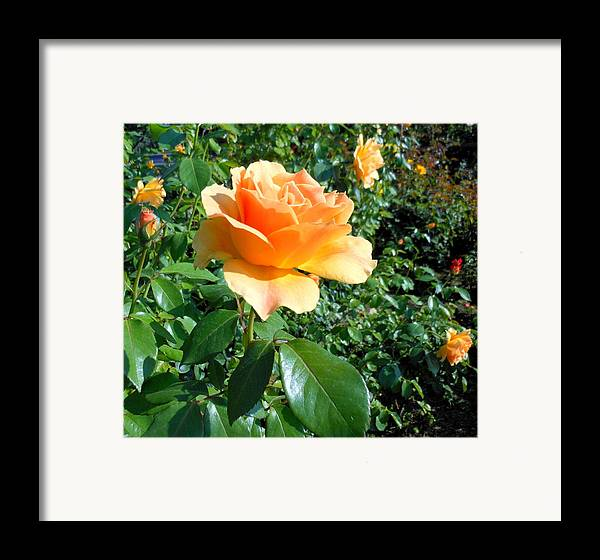 Rose Framed Print featuring the photograph My Love Is Like A Rose by Kay Gilley