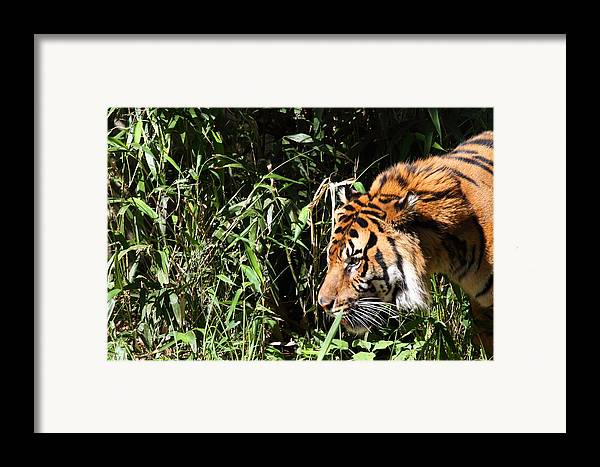 National Framed Print featuring the photograph National Zoo - Tiger - 011311 by DC Photographer