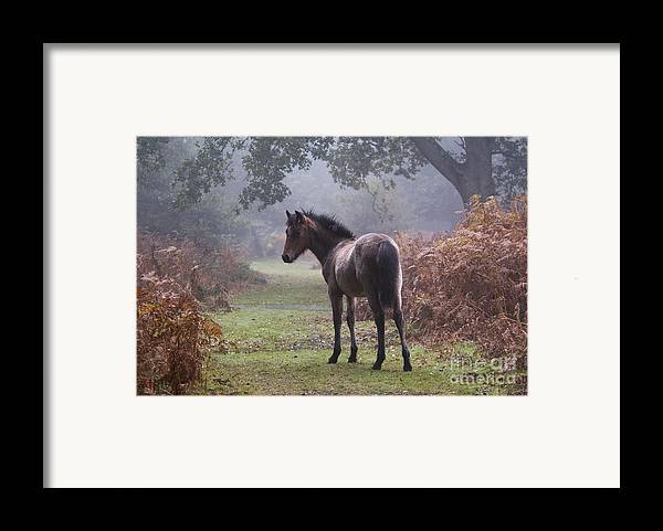 New Forest Pony Framed Print featuring the photograph New Forest Pony by Dave Pressland FLPA