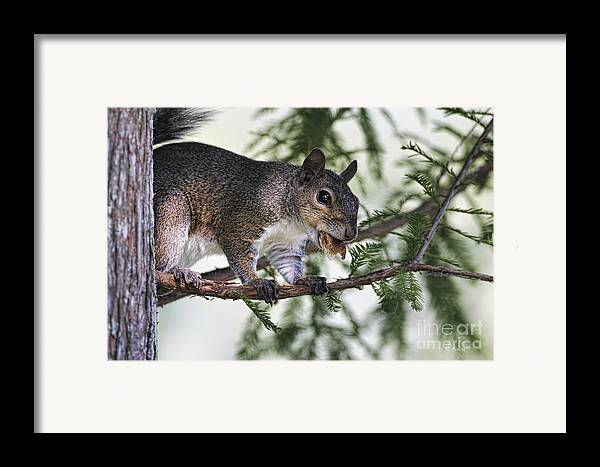 Squirrel Framed Print featuring the photograph Ok You Caught Me by Deborah Benoit