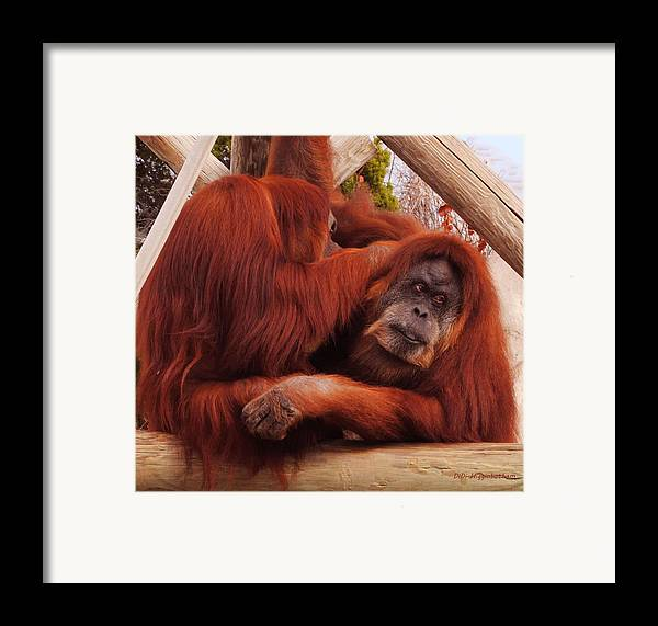 Orangutans Framed Print featuring the photograph Orangutans Grooming by DiDi Higginbotham