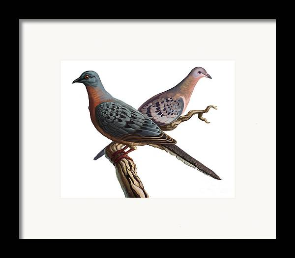 Animal Framed Print featuring the photograph Passenger Pigeon by Spencer Sutton