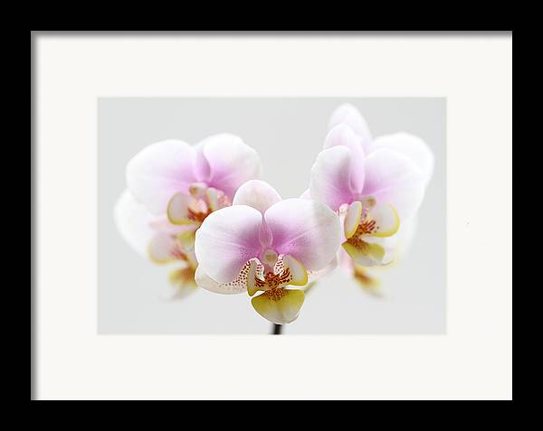 Orchid Framed Print featuring the photograph Pink Sensation by Juergen Roth