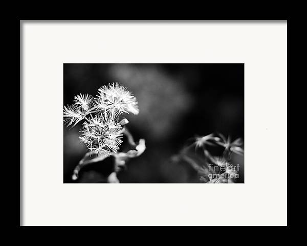 Dandelions Framed Print featuring the photograph Pinwheels by Barbara Shallue