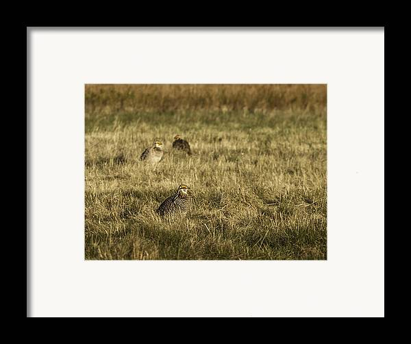 Wisconsin Prairie Chickens Framed Print featuring the photograph Prairie Chickens After The Boom by Thomas Young