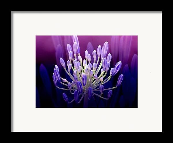 Agapanthus Framed Print featuring the photograph Praise by Holly Kempe
