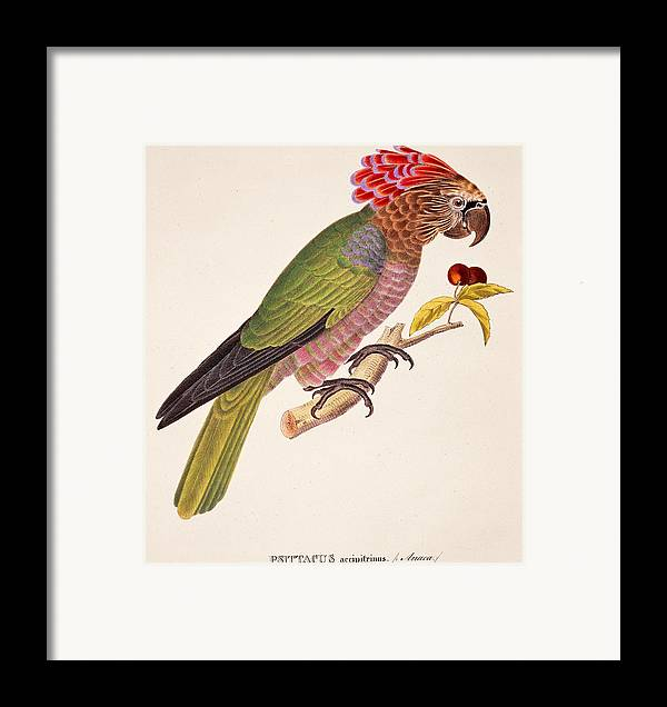 Bird; Parrot; Exotic; Colourful; Bright; Feathers; Plumage; Perched; Perch; Branch; Study; Drawing; Ornithology; Ornithological; Brazilian; South American Framed Print featuring the painting Psittacus Accipitrinus by German School